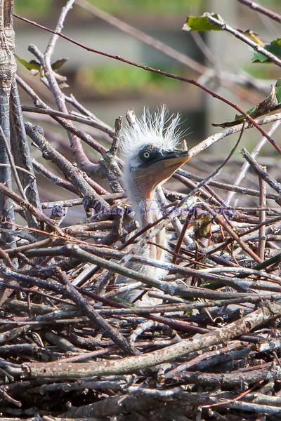Great Blue Heron Hatchling