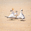Mating Dance of the Royal Terns