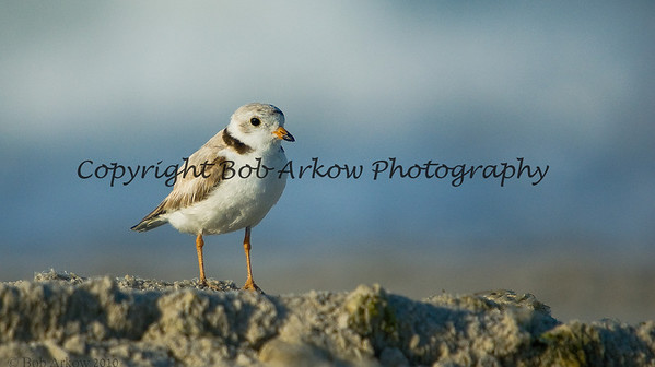 Piping Plover<br /> <br /> This photograph is protected by the U.S. Copyright Laws and shall not to be downloaded or reproduced by any means without the formal written permission of Bob Arkow Photography.