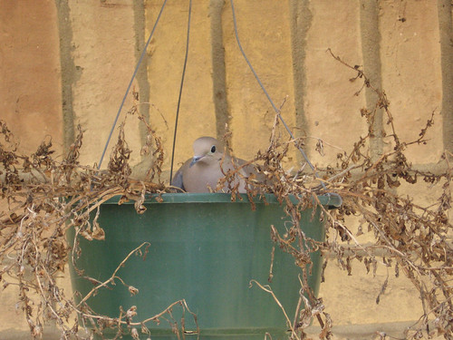 A mourning dove (Zenaida macroura) nesting in a hanging pot (mourning dove 005)