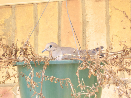 A mourning dove (Zenaida macroura) nesting in a hanging pot (mourning dove 008)