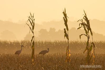 Cranes of the Corn