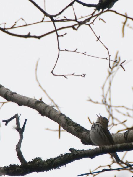 Ovenbird (Closer Image Pending)