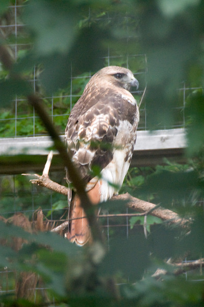 Red-tailed Hawk (Captive)