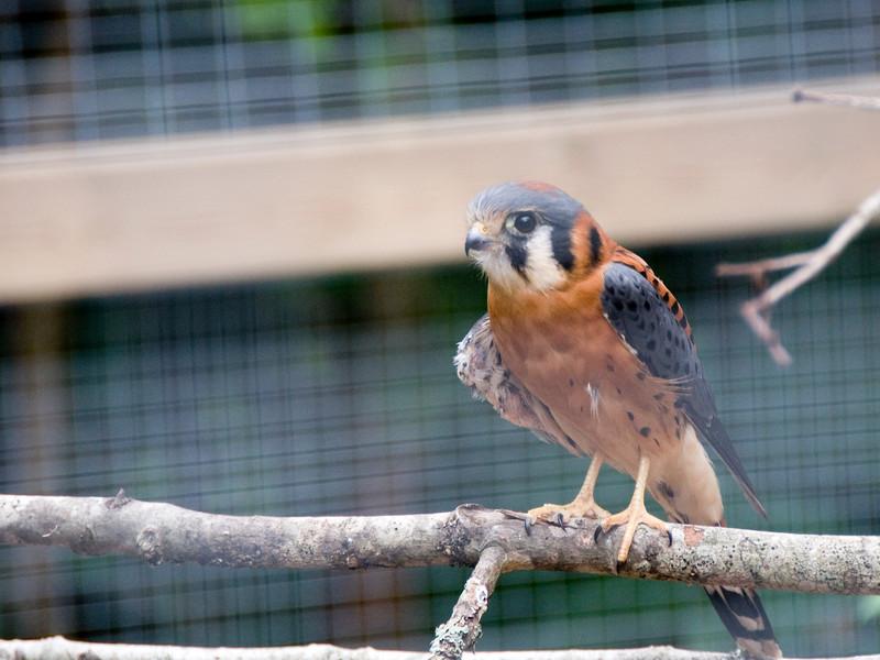 American Kestrel aka Sparrow-hawk (Captive)