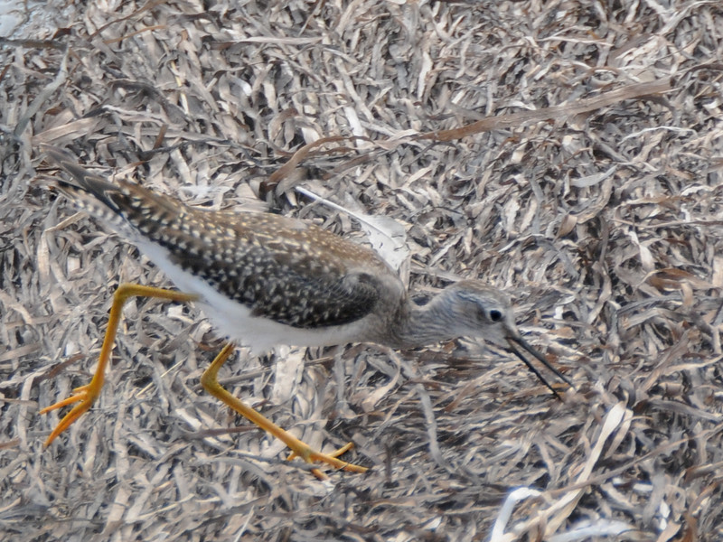 Lesser Yellowlegs (probably)