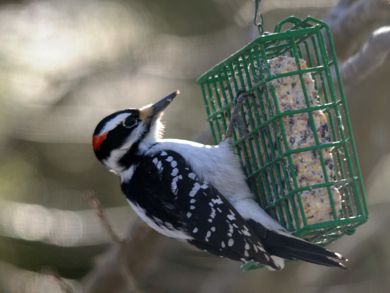 Hairy Woodpecker (note larger size, longer beak, bar-less tail)