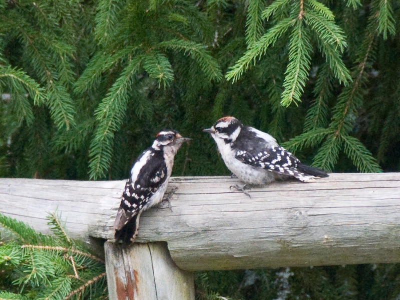 Downy Woodpeckers (note smaller size, stubby beak and bars on outer tail feathers)