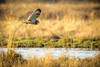 Short Eared Owl on the hunt along the Stilliguamish river, Stanwood, Wa.