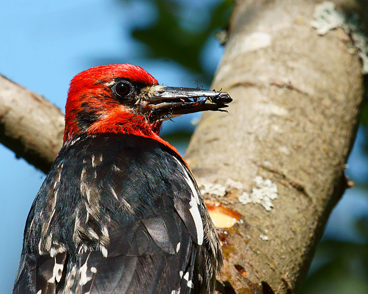 Red Breasted Sapsucker with a load of bugs ready to go feed the youngins.