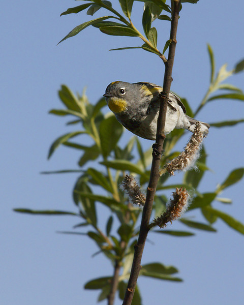 I see you!  Yellow-Rumped Warbler