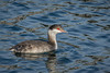 Horned Grebe in non-breeding plumage.