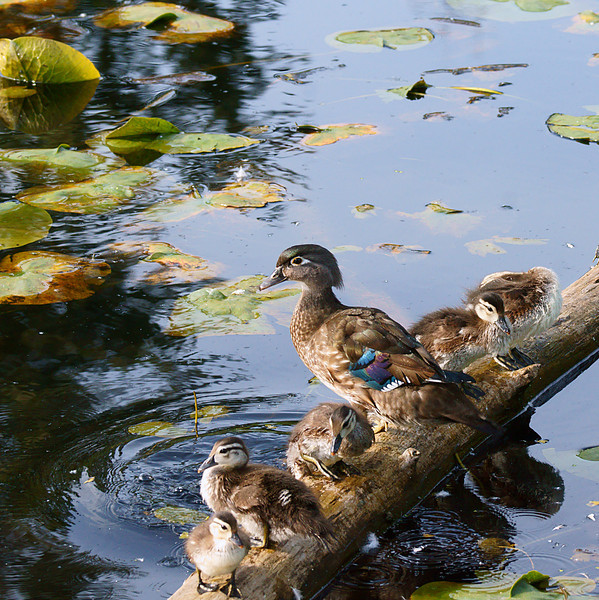 Momma Wood Duck and her troop.
