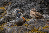 Harlequin Ducks, Rosario Beach, Deception Pass, Washington