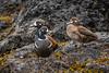 Harlequin Ducks, Rosario Beach, Deception Pass, Washington