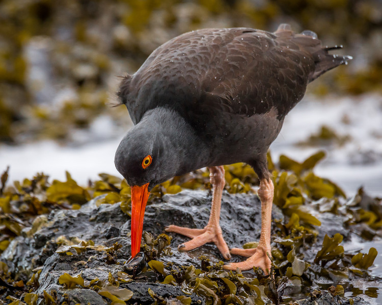 Black Oystercatcher opening a clam at Rosario Beach, Deception Pass