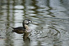 Another Grebe photographed in a backwater pond of Lake Washington.