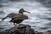 Black Oystercatcher with his prize after opening a muscle at Rosario Beach, Deception Pass.