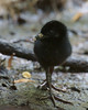 Virginia Rail chick. <br /> <br /> I am so thrilled to have gotten this shot! It is a struggle just to see an adult Virginia Rail, getting a shot is a lot of patients and work....but the baby? Well, I am more than pleased! <br /> He needs to grow into those legs and feet!