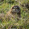 Short Eared Owl hiding with his Vole, along the Stilliguamish river, Stanwood, Wa.