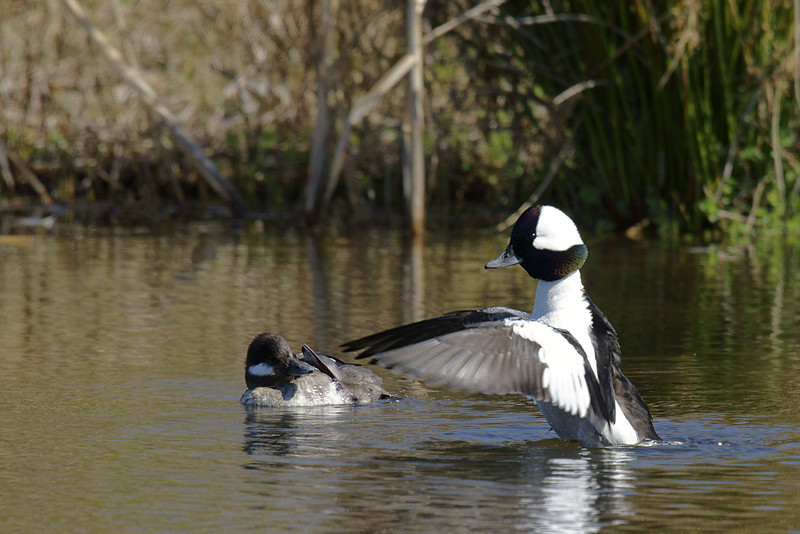 Male bufflehead showing off to female.