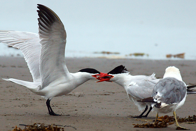 Caspian Tern feeding another and a jealous Gull.