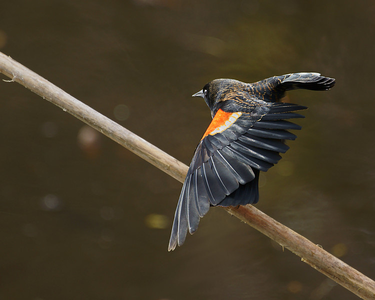 Red-Wing Blackbird at Juanita Bay Park