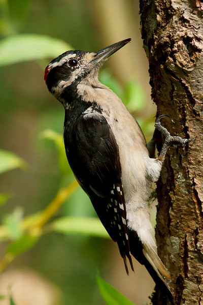 Hairy Woodpecker. Looks nearly identical to the Downy except for a longer bill and nearly double the size.