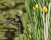 Female Red-wing blackbird.off for more nesting material. I always enjoy the spring colored backgrounds.