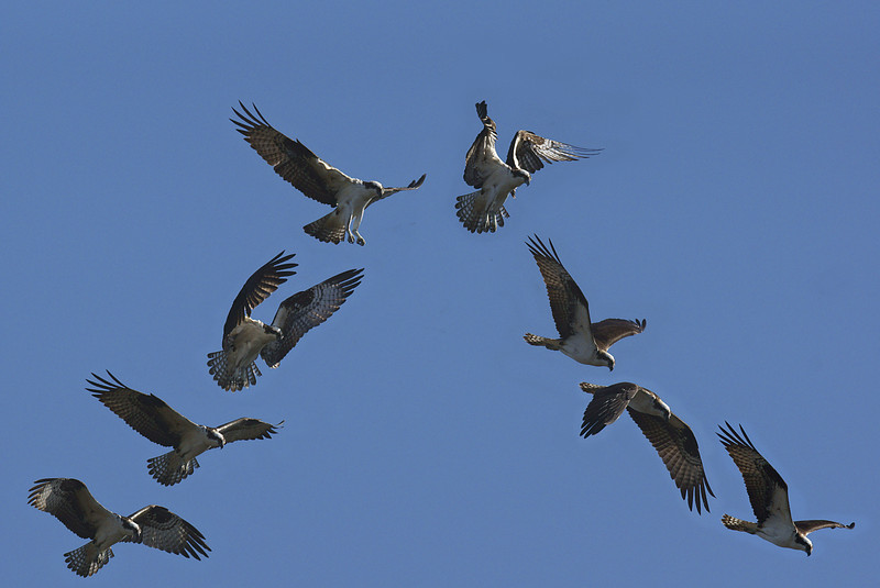 8 shot composite to show the hovering of an Osprey.