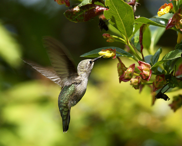 Juvenile female Anna Hummingbird. I watch her chase her brother and her father around for an hour. Ever been nearly run over by three Hummingbirds at once? I have. lol When you can feel the wing wind on your face they are close. =}