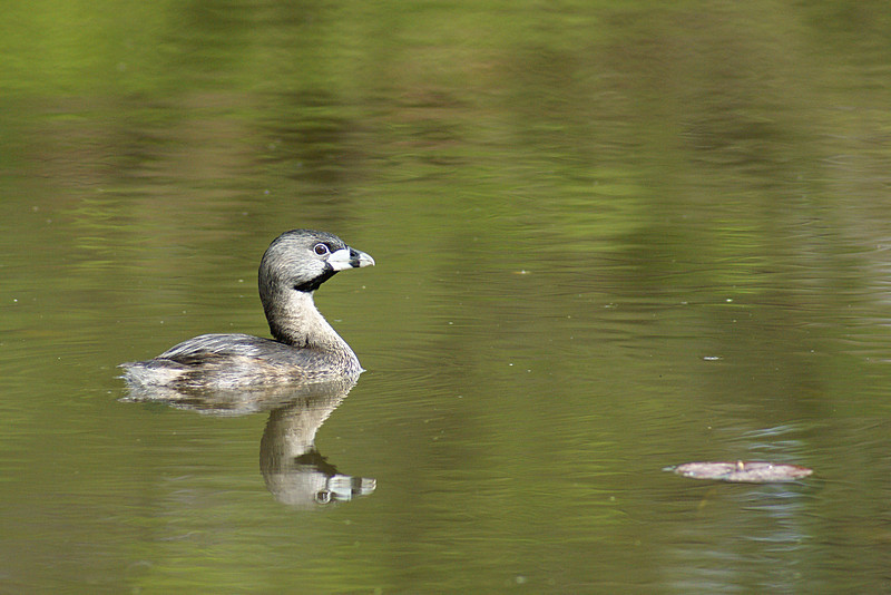 This Grebe was also photographed in a backwater pond of Lake Washington just north of the Seattle Arboretum.