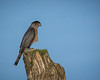 Adult Male Cooper's Hawk.....he did not stick around long but was nice enough to hold this pose just long enough.