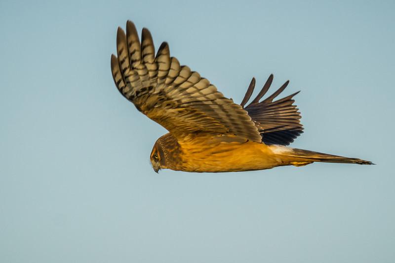 Female Harrier along the Stilliguamish river, Stanwood, Wa.