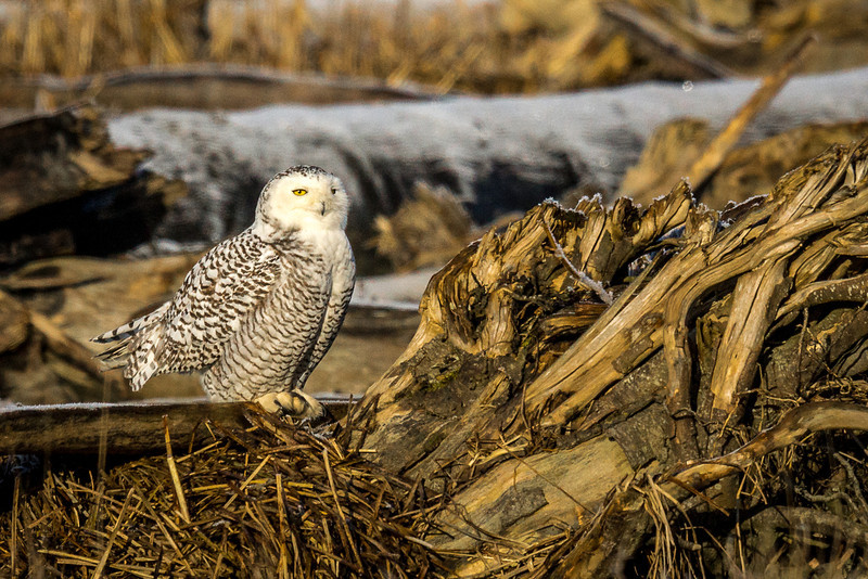 Snowy Owl in the Stanwood, Wa. area.