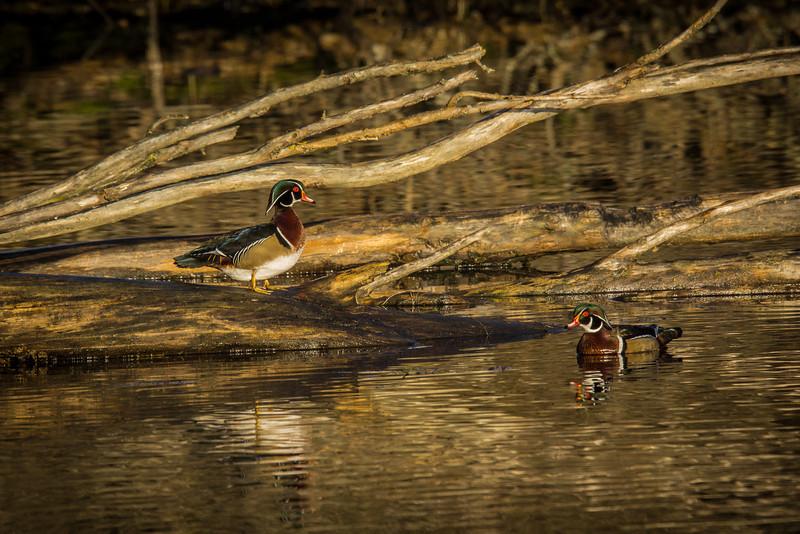 Wood Ducks, in early morning winter light.