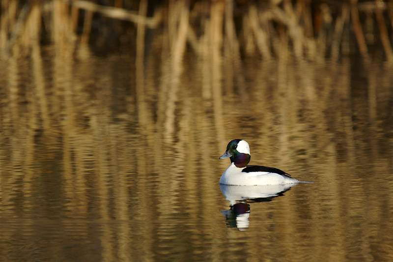 Male Bufflehead, the smallest diving duck species of North America.