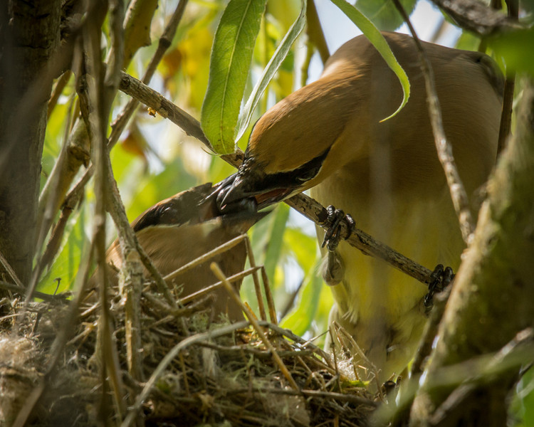 Cedar Waxwings in the nest. I spotted the nest and waited a bit. The male came in and fed the female.