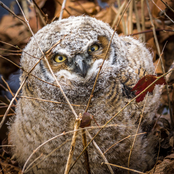 Great Horned Owlet. Fledged one day earlier. Image made in the Nisqually wildlife refuge. Washington