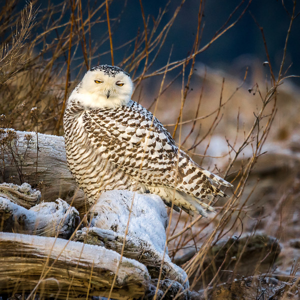 Snowy Owl on a frost covered log. Morning along the Stilliguamish River, Wa.