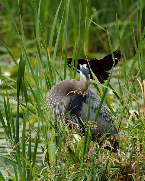 Boo!  The Red-winged Blackbirds sure give these Herons a hard time.