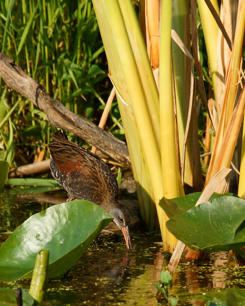Being such a secretive bird..{the Virginia Rail} it was nice of him to come out into the open where the late evening sun lit things nicely.