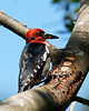 Red Breasted Sapsucker with a ladybug making an escape.