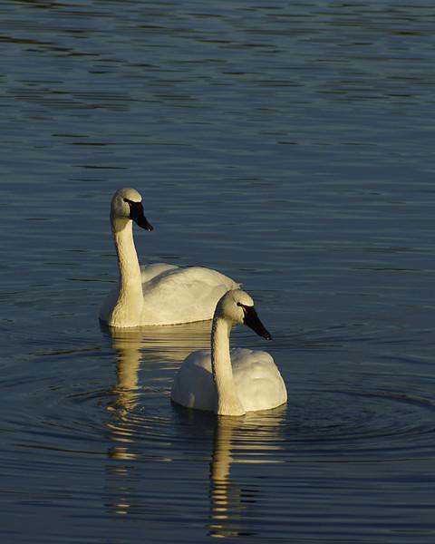 Trumpeter Swans, taken at Juanita Bay, Kirkland.