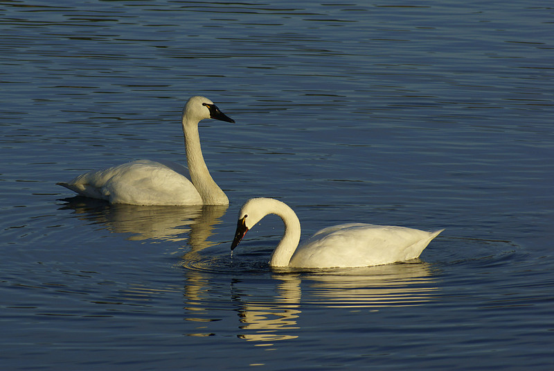Trumpeter Swans, taken at Juanita Bay, Kirkland.