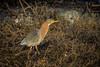 Green Heron at sunset.