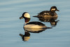 Male and female Bufflehead.