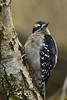 Downy Woodpecker at Juanita Bay Park