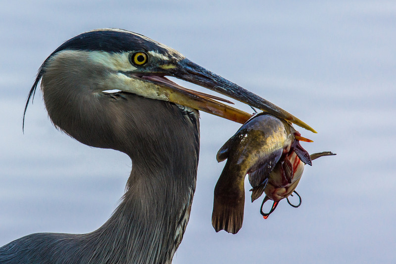 I watched this Heron catch his catfish a ways out on the lake. To my good fortune he flew in to shore to eat. A few minutes of stalking later....I found him getting ready for lunch.