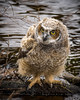 Great Horned Owlet. Fledged one day earlier. Image made in the Nisqually wildlife refuge. Washington.